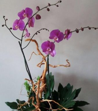 Orquidea Phalenopsis con Raiz